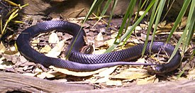 0_1594259691147_275px-Red-Bellied-Black-Snake-BFP-2.jpg